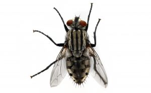 House Flies